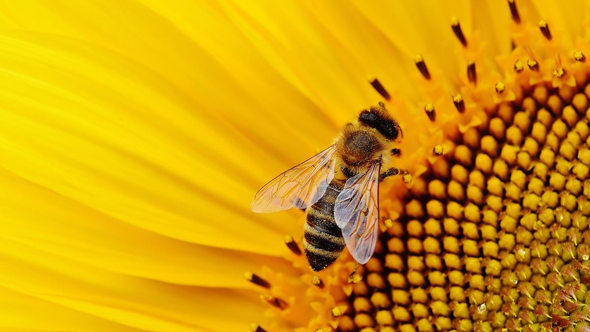 Biene, Foto: pixabay, Alexas_Fotos